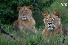 Воины масаи в Кении теперь не охотятся на львов, а охраняют их