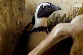 Пингвины в аквариуме ЮАР ощущали стресс из-за карантина
