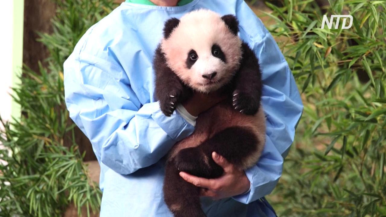 Первому в Южной Корее детёнышу панды дали имя