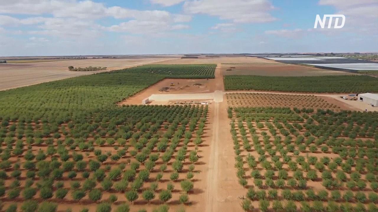 На ферме в Австралии высадили 4000 деревьев самоопыляющегося миндаля
