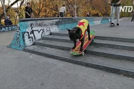 Французский бульдог Норд-босс стал завсегдатаем скейт-парка в Москве