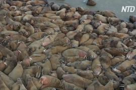 На Ямале обнаружили крупнейшее в мире лежбище атлантических моржей