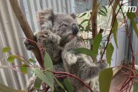 В Австралии пытаются спасти исчезающих коал