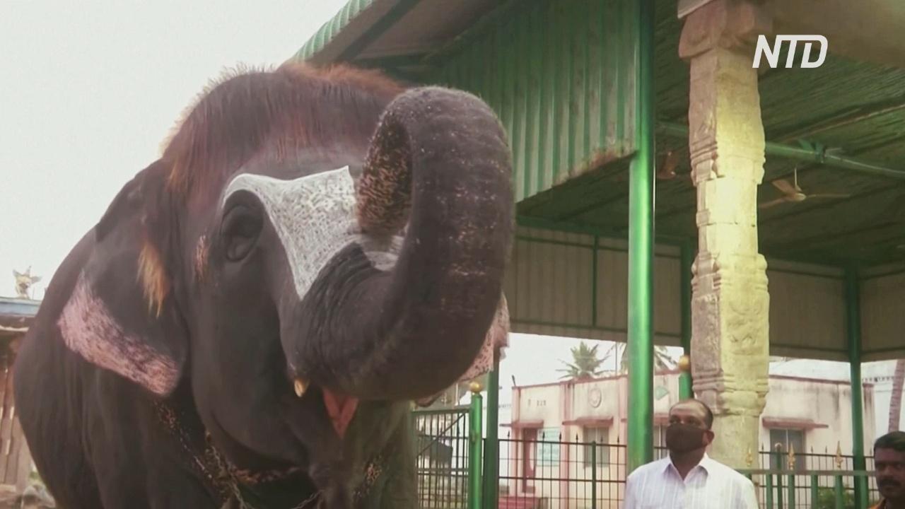 Слониха из индийского храма стала звездой интернета благодаря модной стрижке