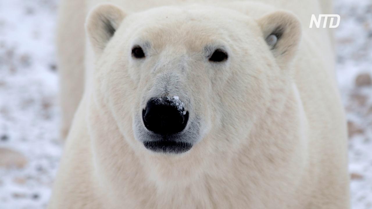 Предупреждать о приближении белых медведей будут радары