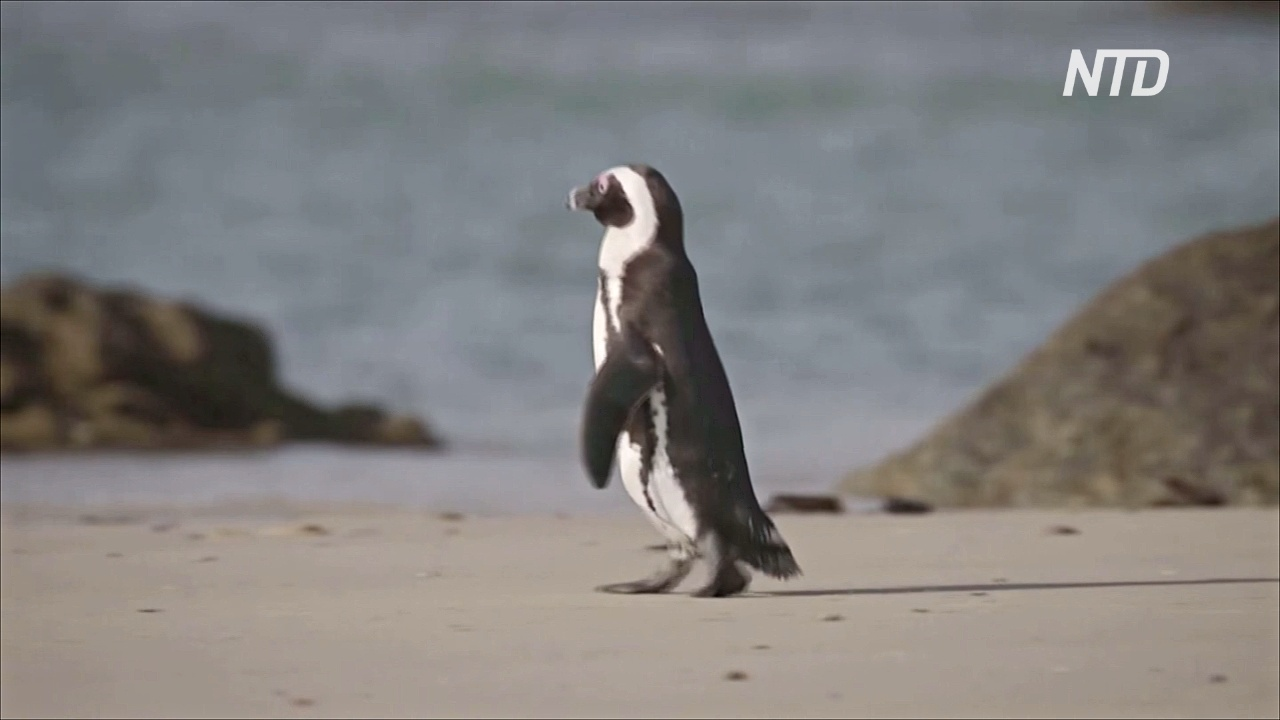 В ЮАР спасают популяцию очковых пингвинов, выращивая осиротевших птенцов
