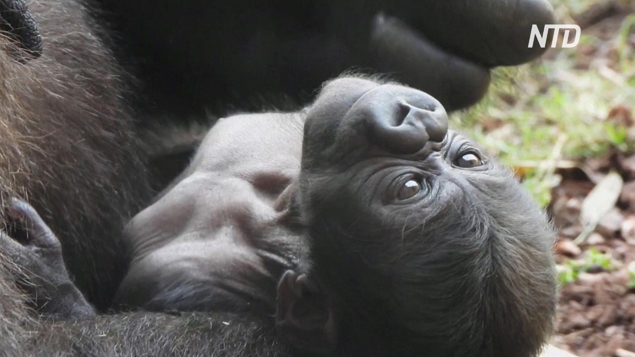 Детёныш редкой гориллы родился в испанском зоопарке