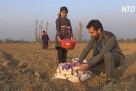 Как в Кашмире спасают индустрию шафрана