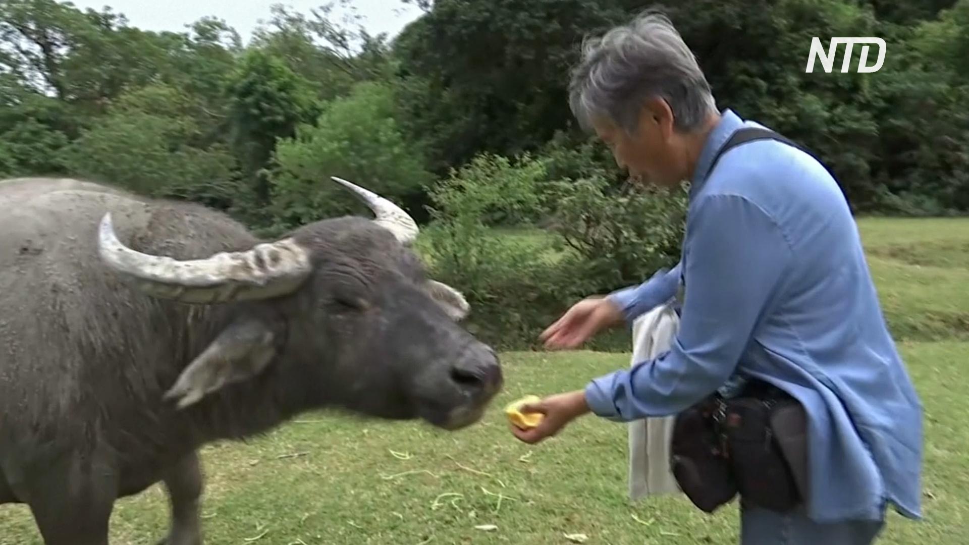 «Мама буйволов»: жительница Гонконга заботится об одичавшем скоте на острове Лантау