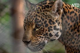 В Аргентине дикого ягуара скрестили с выращенным в неволе