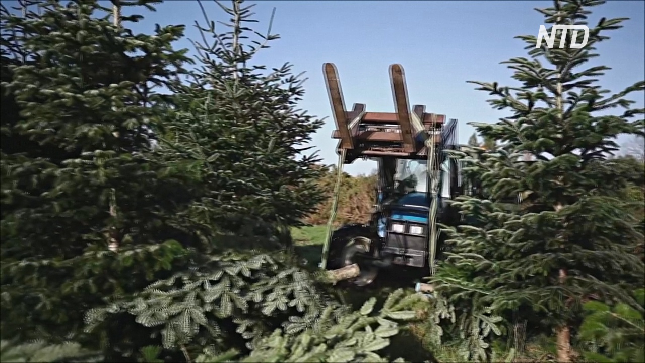 Производители рождественских деревьев Франции смотрят в будущее с оптимизмом