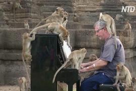 Британский пианист сыграл для сотен голодных обезьян в Таиланде