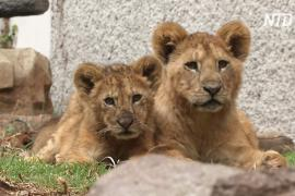 Плоды карантина: в мексиканском зоопарке родились пять львят