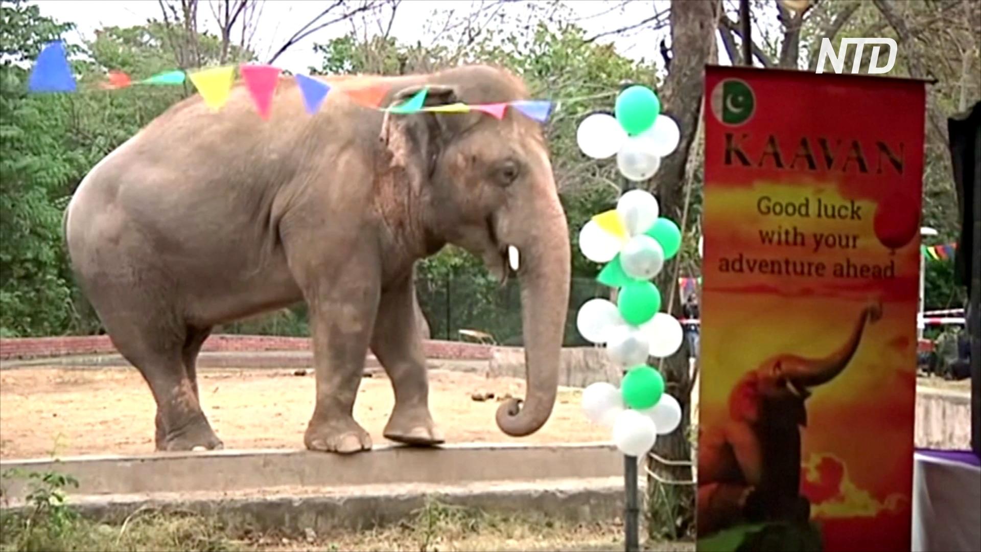 Самого одинокого слона в мире перевезут из Пакистана в заповедник Камбоджи