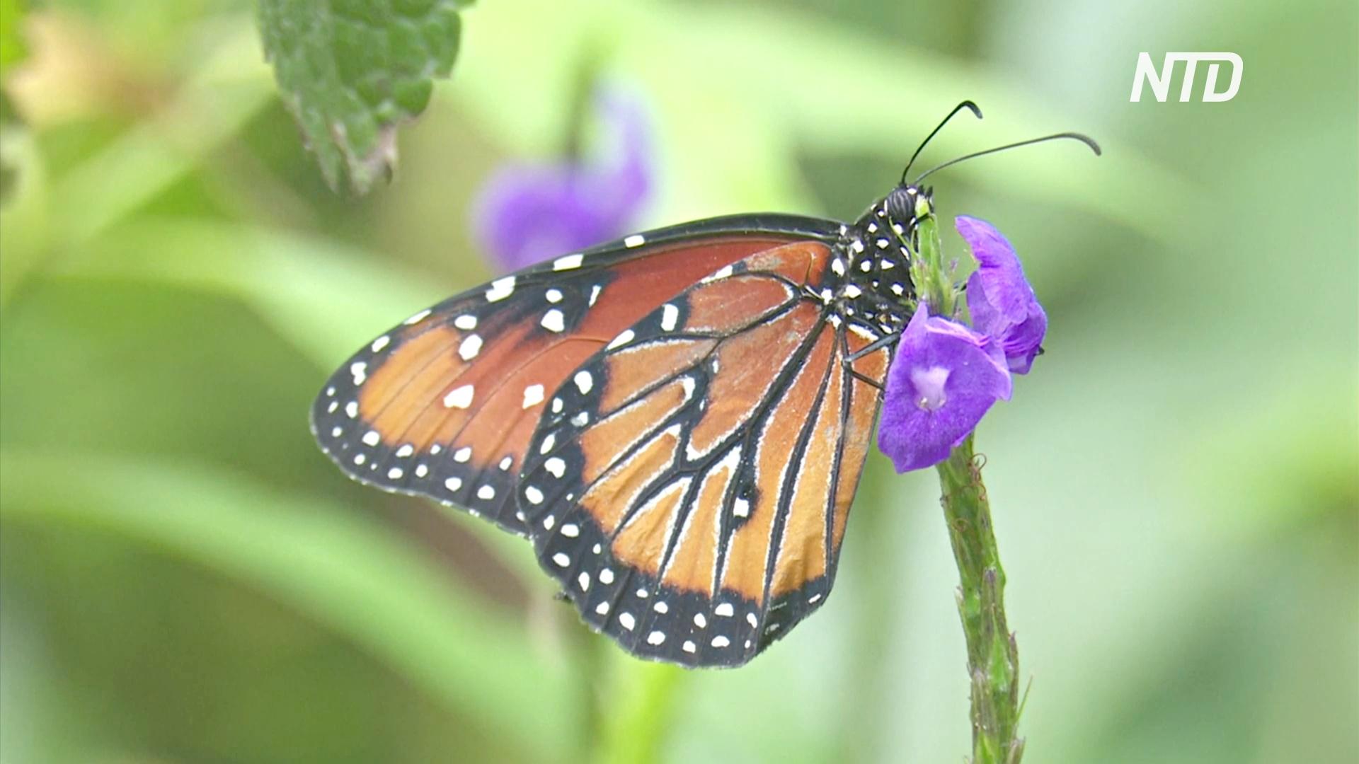 Почему бабочки хрупкие и жизнестойкие одновременно