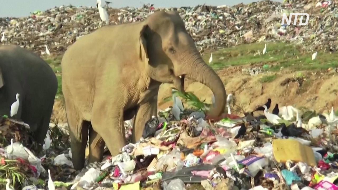 Дикие слоны кормятся на мусорных полигонах на Шри-Ланке