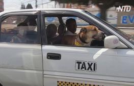 Призвание – штурман: бывший бездомный пёс работает в такси с новым хозяином
