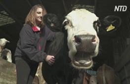 Поговорить с коровой: как на британских фермах помогают избавиться от стресса от карантина