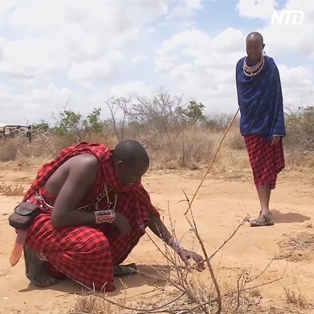 Воины масаи в Кении встали на защиту львов