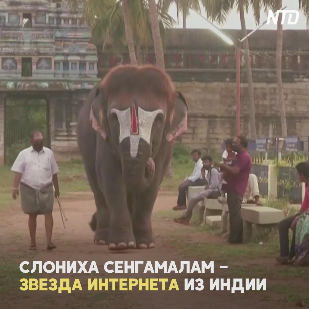 Индийская слониха прославилась благодаря модной стрижке