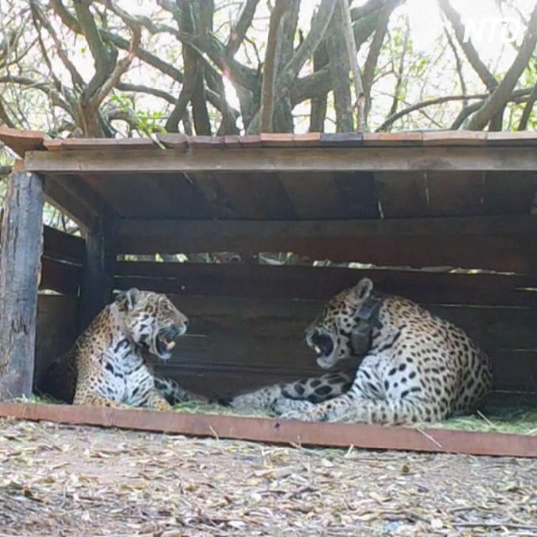 Беспрецедентный шаг: дикого ягуара скрестили с выращенным в неволе