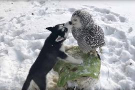 Щенок хаски и полярная сова – лучшие друзья
