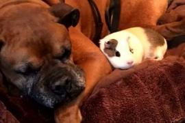 Как дружат собака-инвалид и морская свинка