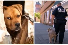 Питбуль ломает стереотипы и становится полицейской собакой