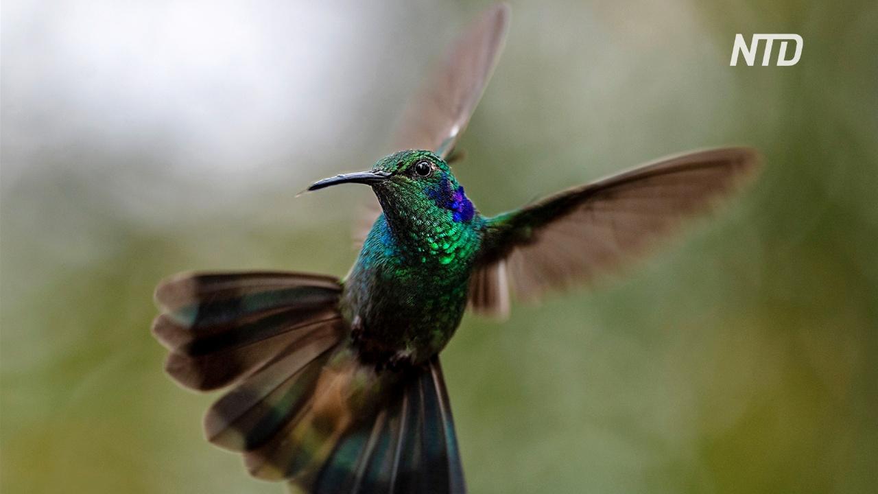Оазис покоя: жители Боготы наблюдают за колибри на холме Монсеррат