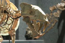 Скелет доисторической хищной кошки выставят на торги в Швейцарии