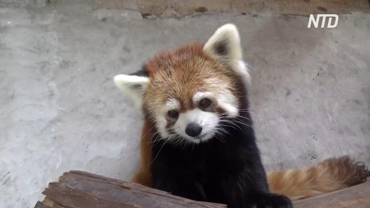 В чилийском зоопарке поселились красные панды из Японии