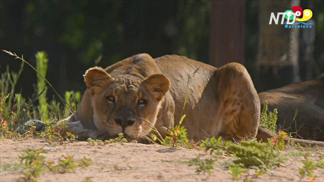 У львов в зоопарке Барселоны выявили COVID-19