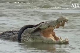 Крокодил с шиной на шее вновь вышел к людям