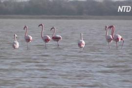 Редкие гости: в Крым на зимовку прилетела стая фламинго