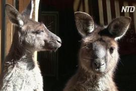 Кенгуру способны общаться с людьми так же, как и собаки