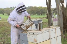 В Австралии дожди помогли восстановиться популяции пчёл
