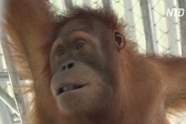 Спасённых от контрабандистов орангутанов вернули в Индонезию