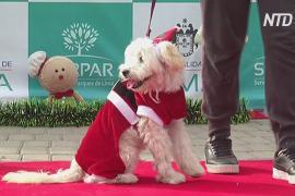 В Перу собак нарядили в эльфов и Сант и провели по подиуму