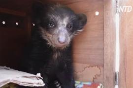 На юге Перу спасли из неволи очкового медвежонка-сироту