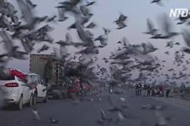 Китайские заводчики почтовых голубей делают ставку на победу
