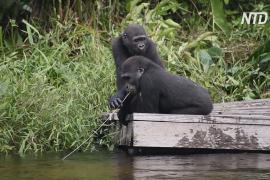 В заповеднике Конго выращивают осиротевших горилл