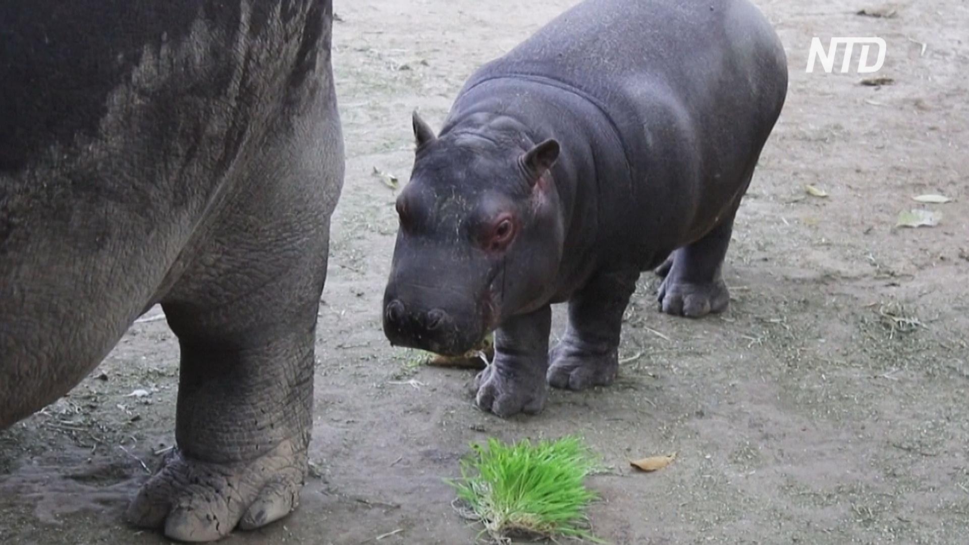 В мексиканском зоопарке подрастает детёныш бегемота