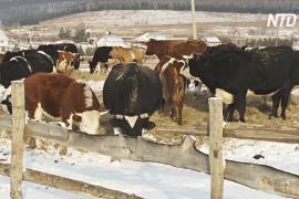 Приют для коров: в татарстанском селе спасают ненужный скот