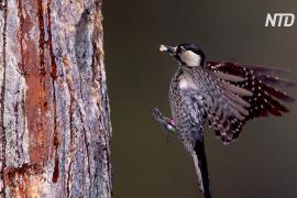 На юго-востоке США восстанавливают некогда обширные леса болотных сосен