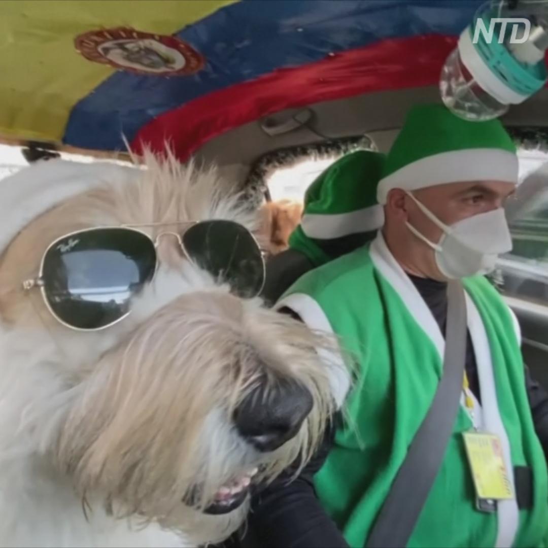 Такси с четвероногим Сантой разъезжает по Боготе