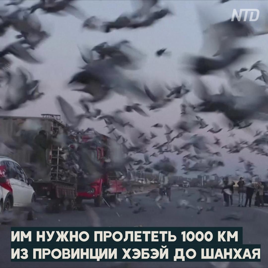 Миллионы на голубей: китайские заводчики растят пернатых чемпионов