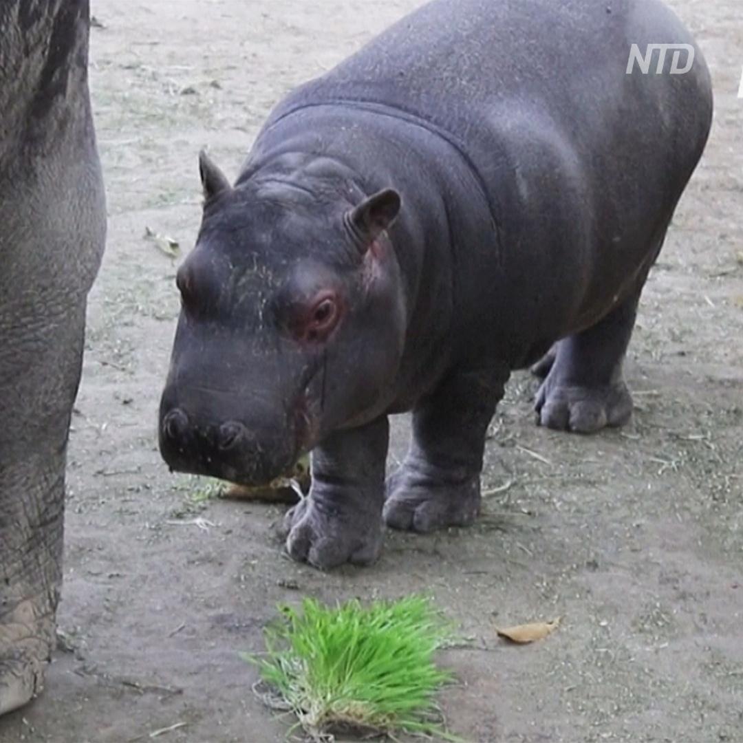 Зоопарк в Мексике показал детёныша бегемота