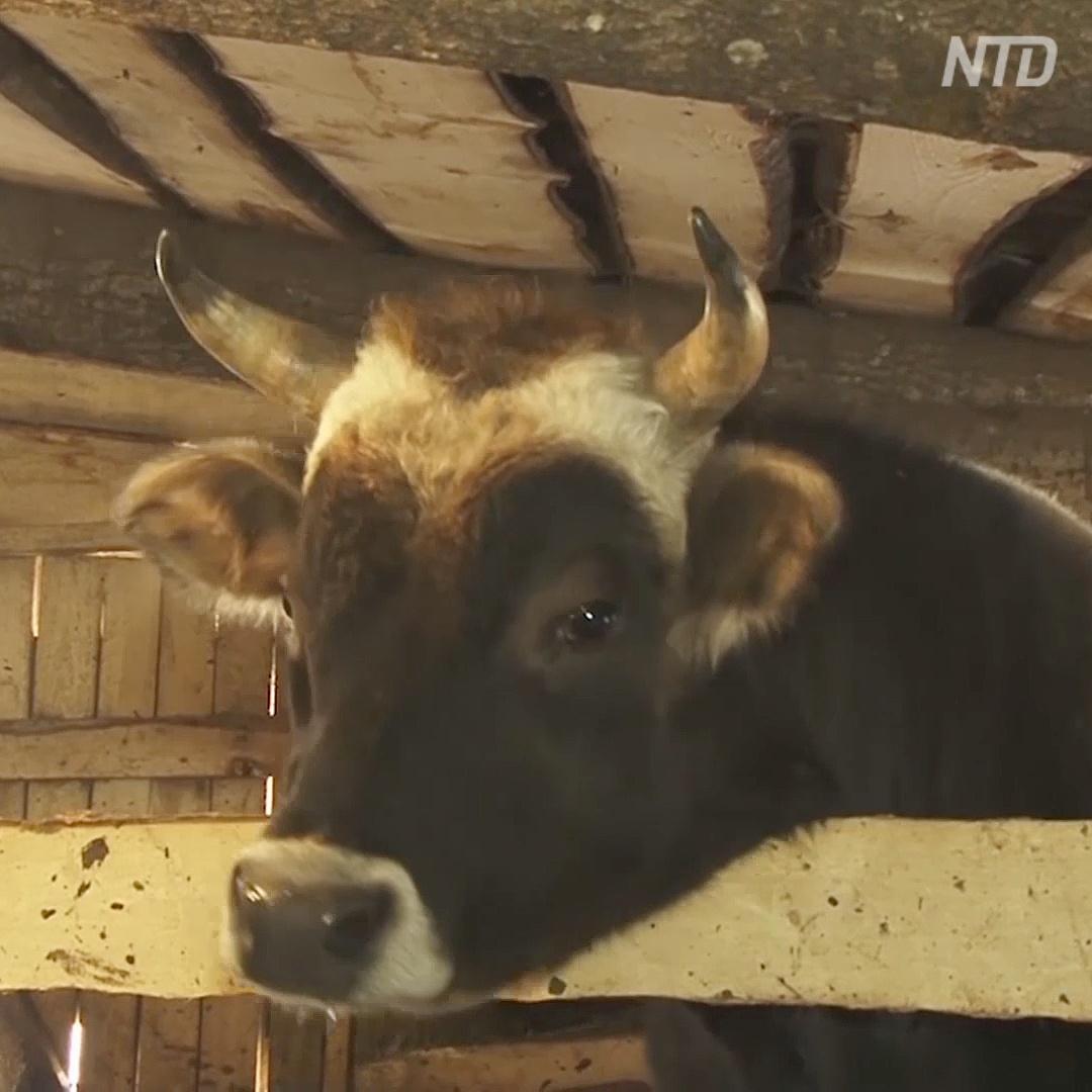 Приют в татарстанском селе спас от бойни уже 100 коров