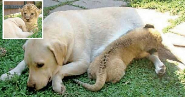 Как собака спасла львёнка от гибели