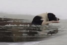 Как мужчина вытаскивал бродячую собаку из полыньи